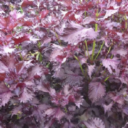 Perilla Red - Shiso - Japanese Basil - Min 1000 seeds